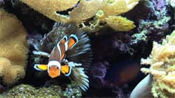Clownfish in an aquarium video