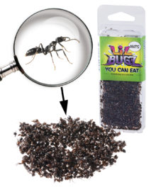 Edible Black Ants