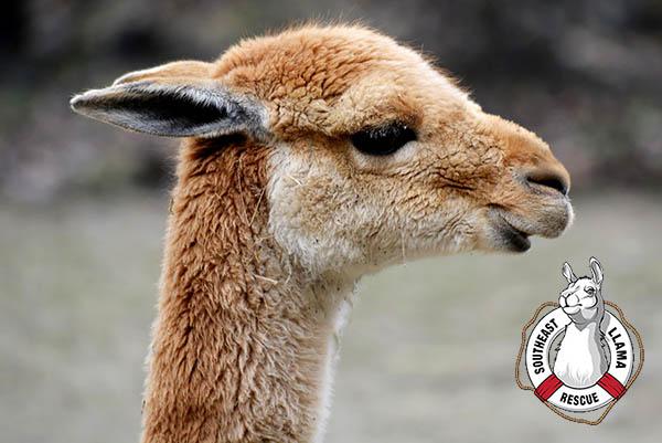 Each kit benefits the Southeast Llama Rescue.